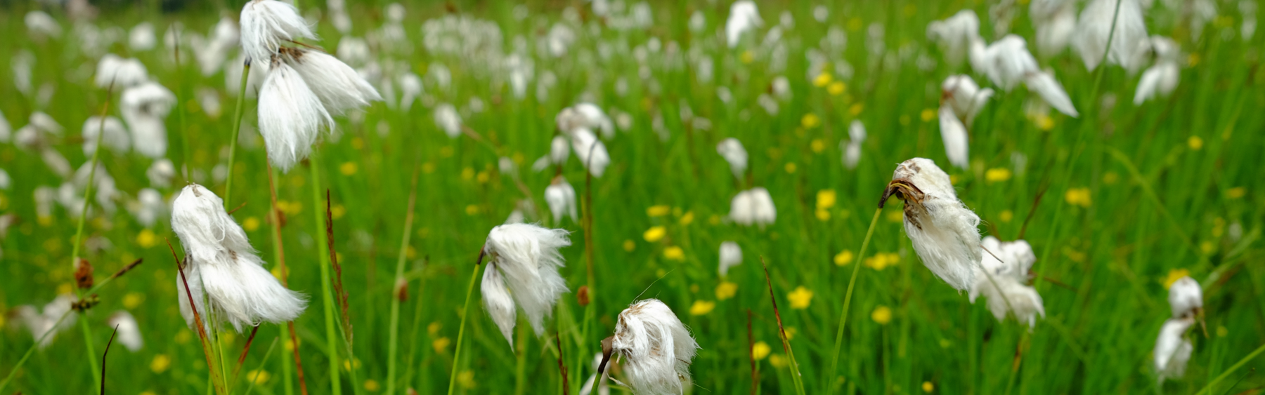 slider/2017 06_Eriophorum.jpg